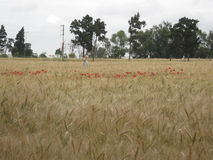 Golden wheat field with Red poppy Stock Images