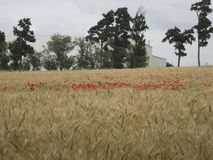 Golden wheat field with Red poppy Royalty Free Stock Photo
