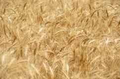 Golden Wheat Field Stock Photography