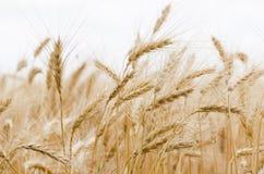 Golden Wheat Field Royalty Free Stock Photos