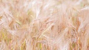 Golden Wheat field stock footage