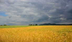 Field of wheat in front of the storm royalty free stock images