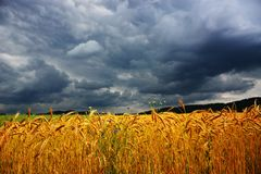 Field of wheat in front of the storm royalty free stock image