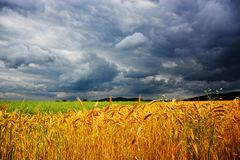 Field of wheat in front of the storm royalty free stock photo