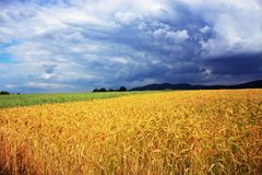 Field of wheat in front of the storm stock images