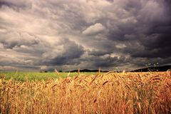 Field of wheat in front of the storm stock photo