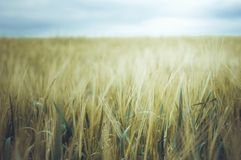 Golden Wheat Field and Stormy Sky Stock Image