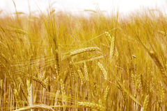 Golden wheat field in summer Royalty Free Stock Photos