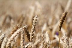 Golden wheat field summer Stock Photos