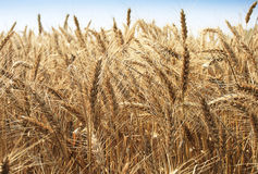Golden wheat field. On summer day Stock Photos