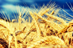 Golden wheat field at summer day Stock Images