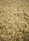 Golden wheat field at summertime. Stock Photos