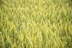Golden Wheat Field in Sunlight Royalty Free Stock Photography
