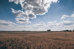 Golden Wheat field on sunny day, Blue sky, Cloudscape, rich harvest Royalty Free Stock Image
