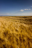 Golden Wheat field on sunny day, Blue sky, Cloudscape, rich harvest Stock Images