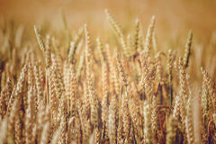 Golden wheat field and sunny day Stock Image