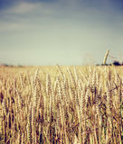 Golden wheat field and sunny day Royalty Free Stock Images