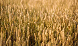 Golden wheat field and sunny day Royalty Free Stock Photography