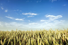 Golden wheat field and sunny day Stock Photography