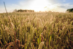 Golden wheat field and sunny day Royalty Free Stock Photos