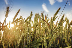 Golden wheat field and sunny day Royalty Free Stock Photo