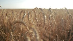Golden wheat field on sunny day stock video