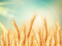 Golden wheat field and sunny day. EPS 10. Vector file included Stock Photos