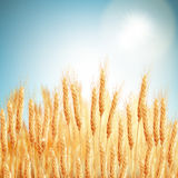 Golden wheat field and sunny day. EPS 10. Vector file included Stock Image