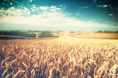 Golden wheat field at sunny day. Nature background Stock Photo