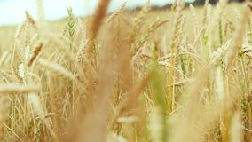Golden wheat field and sunny day in slowmotion on windy day. 1920x1080 stock footage
