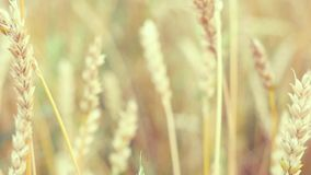 Golden wheat field and sunny day in slowmotion on windy day. 1920x1080 stock video footage