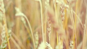 Golden wheat field and sunny day in slowmotion on windy day. 1920x1080 stock video