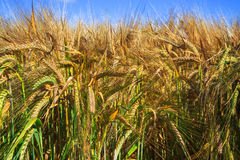Golden wheat field and sunny day Royalty Free Stock Image