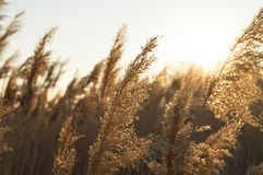 Golden wheat Royalty Free Stock Photography
