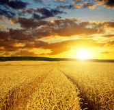 Golden wheat field Royalty Free Stock Photo