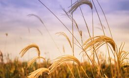 Golden wheat in field at sunset Stock Image