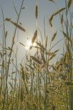 Golden wheat field at sunset against the sun with solar panel Stock Photo