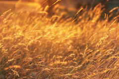 Golden wheat field at sunset. Close up view. Stock Photo