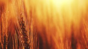 Golden wheat field in sunset stock footage
