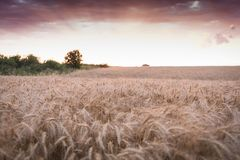 A golden wheat field at sunset stock images