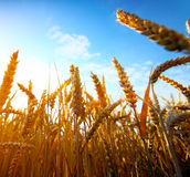 Golden wheat field and sunset Royalty Free Stock Photography