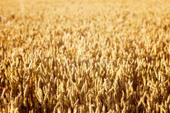 Golden Wheat Field at Sunset Royalty Free Stock Photos