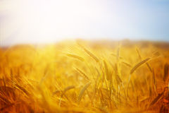 Golden wheat field on the sunset in summer day. Beautiful rural Stock Photos