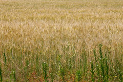 Golden wheat field on sunshine. The golden wheat field on sunshine royalty free stock image