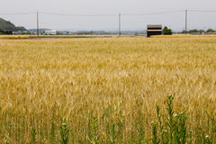 Golden wheat field on sunshine. The golden wheat field on sunshine stock images