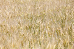 Golden wheat field on sunshine. The golden wheat field on sunshine royalty free stock images