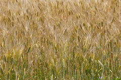 Golden wheat field on sunshine. The golden wheat field on sunshine stock photography