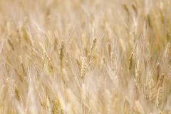 Golden wheat field on sunshine. The golden wheat field on sunshine royalty free stock photos