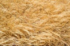 Golden wheat field texture Stock Photography