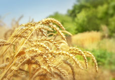 Golden wheat field and trees Royalty Free Stock Photos